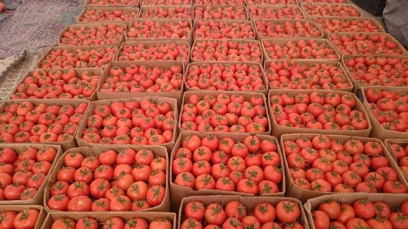 برداشت گوجه فرنگی در شهر مرزی میرجاوه