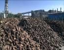 آذربایجان غربی رکورددار تولید چغندرقند