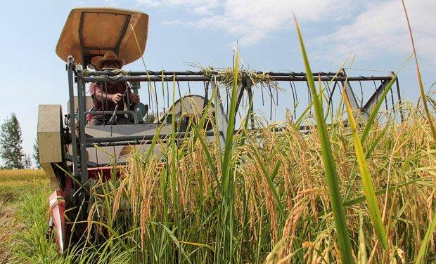 برداشت برنج ازشالیزارهای استان