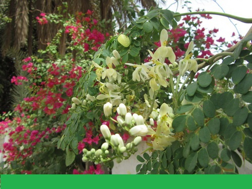 شرایط واردات بذر مورینگا از آمریکا