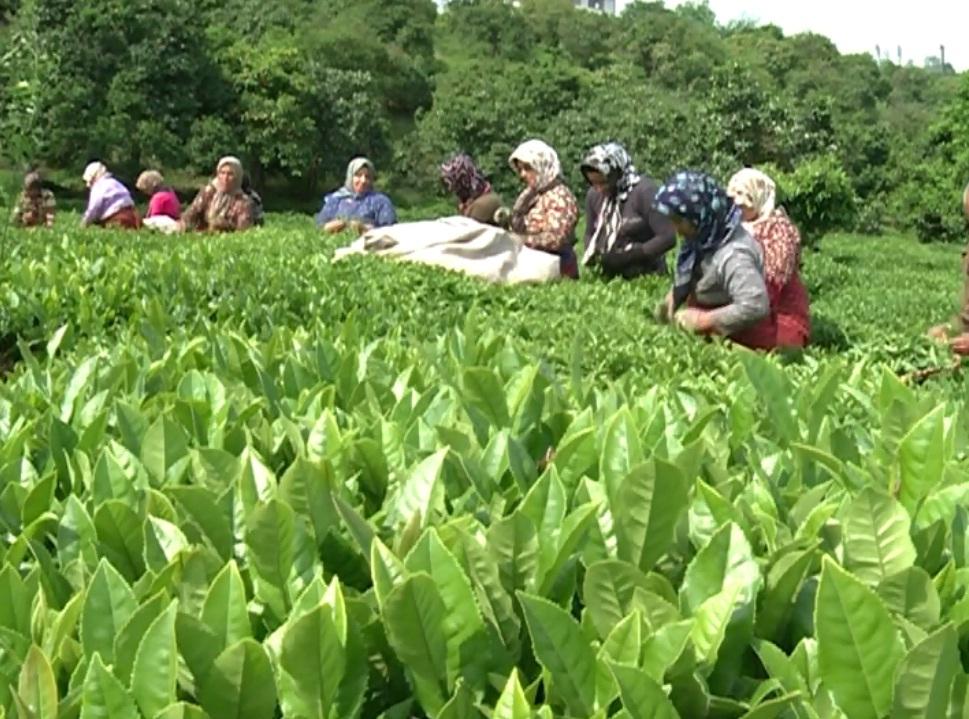 گزارش مکتوب...از بیماری گیاهی تا ناخوش احوالی صنعت چای
