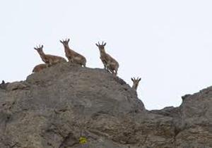 مدیرکل حفاظت محیطزیست کهگیلویه و بویراحمد آغاز شمارش گونههای حیاتوحش دنا