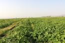مزارع کدو حلوایی