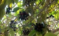 """آغاز برداشت میوه گرمسیری """" جم  """" در هرمزگان"""