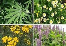 کشت گیاهان دارویی و سبز شدن عرصههای منابع طبیعی فارس سبز شدن بیش از دو هزار هکتار از عرصههای منابع طبیعی فارس
