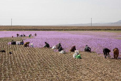پیش بینی برداشت 9تن زعفران در شهرستان گناباد