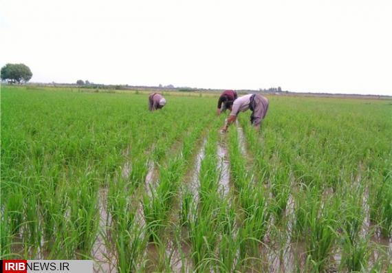 ممنوعیت کشت برنج در شهرستانهای هرسین و صحنه