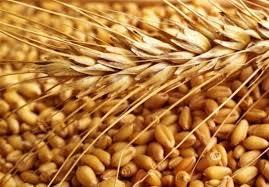 توزیع ۲۶ هزار تن بذر گندم در شهرستان کازرون