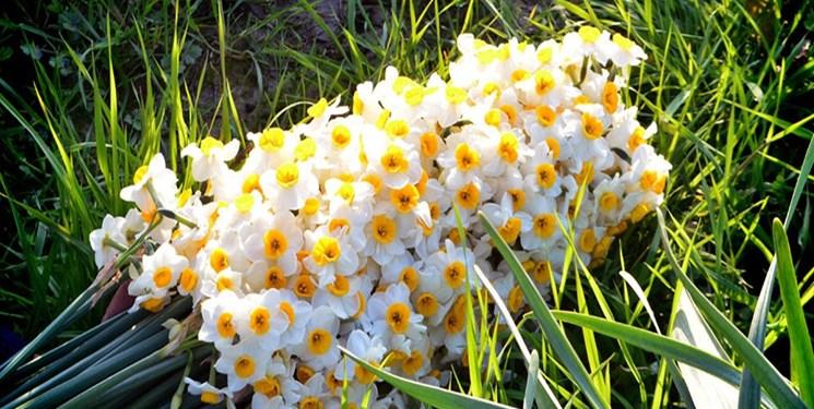 نرگس زارهای کازرون میزبان هفتمین جشنواره گل