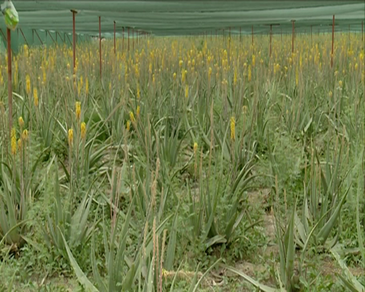 شوره زاری با بوتههای سبز و گلهای زرد