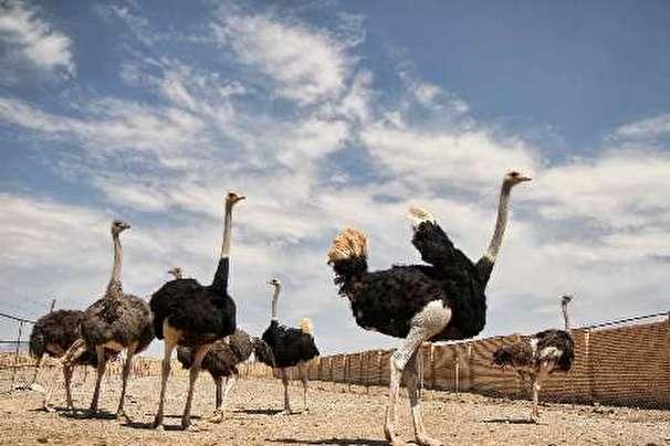 احیای مراتع بیابانی با پرورش شتر مرغ