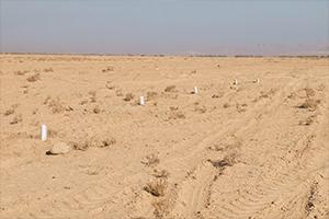 پایان مالچ پاشی و نهال کاری در بحرانی ترین کانون فرسایش بادی استان