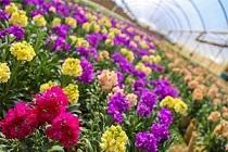 مدیر باغبانی جهاد کشاورزی؛ استان مرکزی، رتبه نخست تولید گلهای فصلی و نشایی در کشور