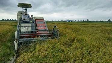 آغاز برداشت برنج در مازندران