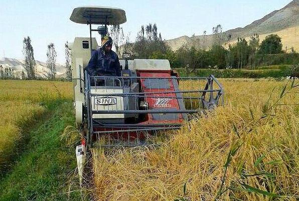 برداشت برنج در 80 هزار هکتار از شالیزارهای مازندران