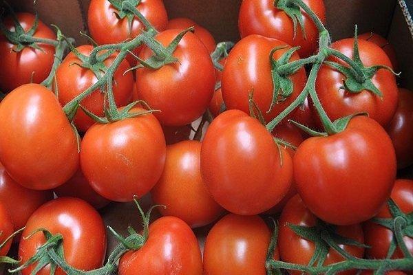 آغاز کشت پاییزه گوجه فرنگی در فارس