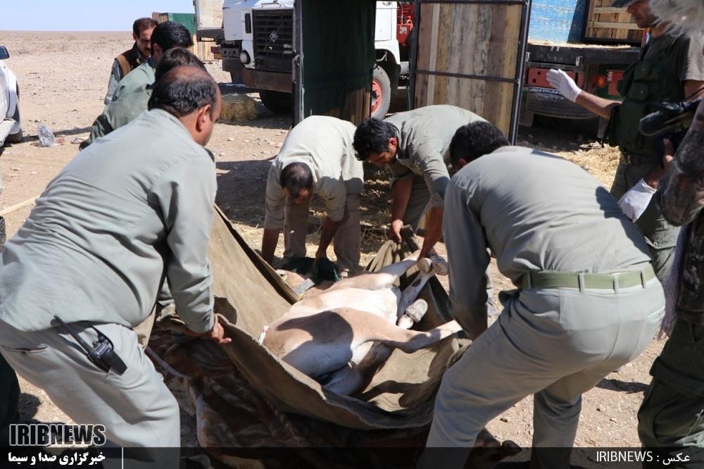 Risultati immagini per علت مرگ گورخرها
