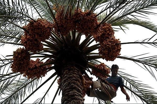 گزارش مکتوب  ...... اما و اگرهای تولید و صادرات خرما در استان بوشهر