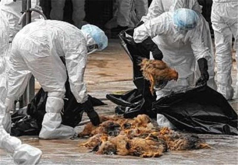 معدوم کردن بیش از یک میلیون قطعه مرغ در استان