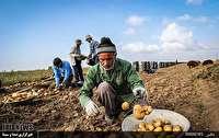 صادرات سیب زمینی اردبیل بدلیل کیفیت بالا