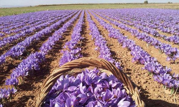 نتیجه تصویری برای برداشت زعفران استان سمنان