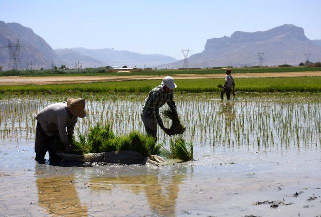ممنوعیت کاشت برنج در استان فارس