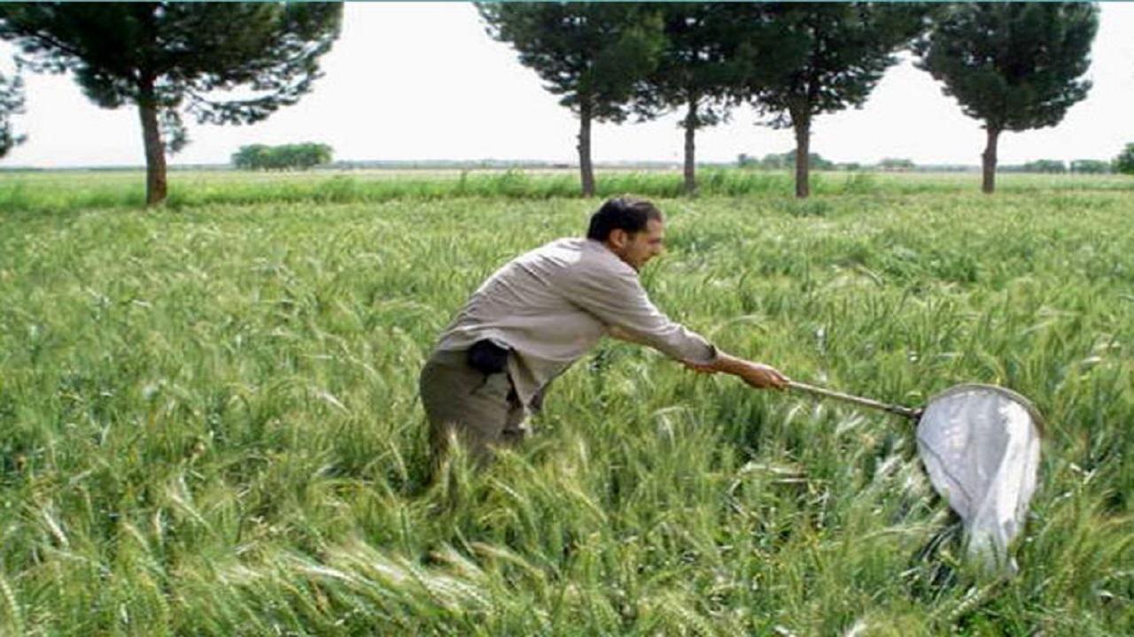 کشاورزان قزوینی برای پایش مزارع گندم اقدام کنند
