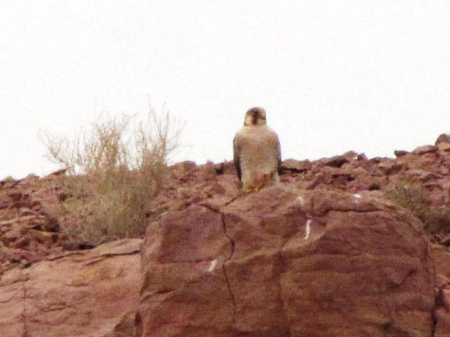 تصویربرداری از پرنده کمیابِ شاهین سرخ در منطقه حفاظت شده عباس آباد
