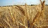 افزایش 30 درصدی قیمت تضمینی خرید گندم در خراسان شمالی