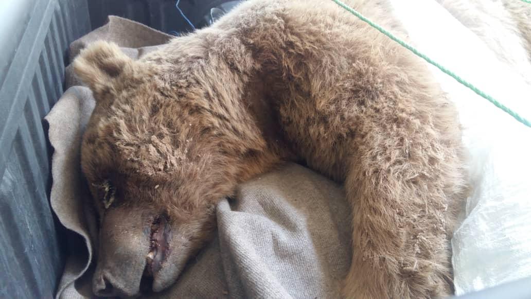 مجروح شدن یک قلاده خرس قهوهای در دالاهو بر اثر برخورد با خودرو