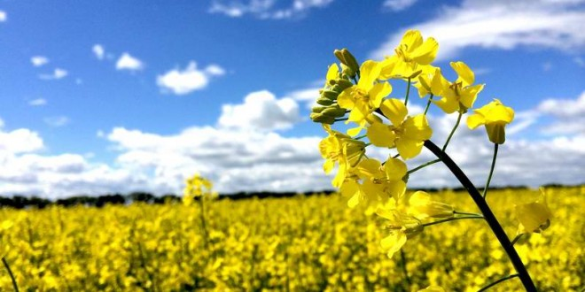 افزایش ۱۵۰ هکتاری اراضی کشاورزی زیر کشت کلزا