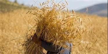 خرید ۱۳۰ هزار تن گندم در فارس