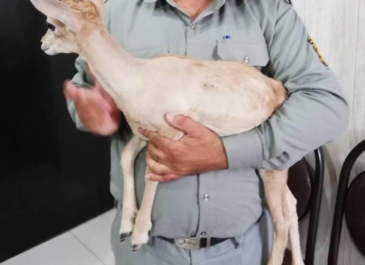 بره وحشی در رکن آباد کشف شد