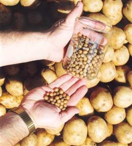 تولید بذر سیب زمینی استاندارد در فارس