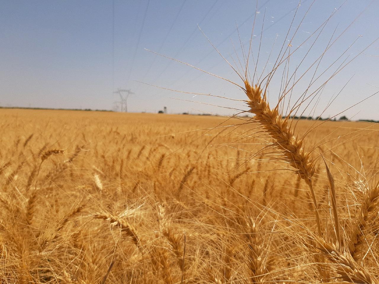 رتبه برتر ساوه در تولید گندم در استان مرکزی