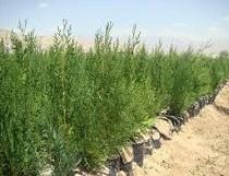 تولید سالانه 2 میلیون نهال در استان مرکزی