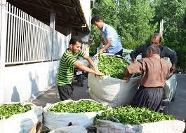 افزایش تولید برگ سبز چای در گیلان