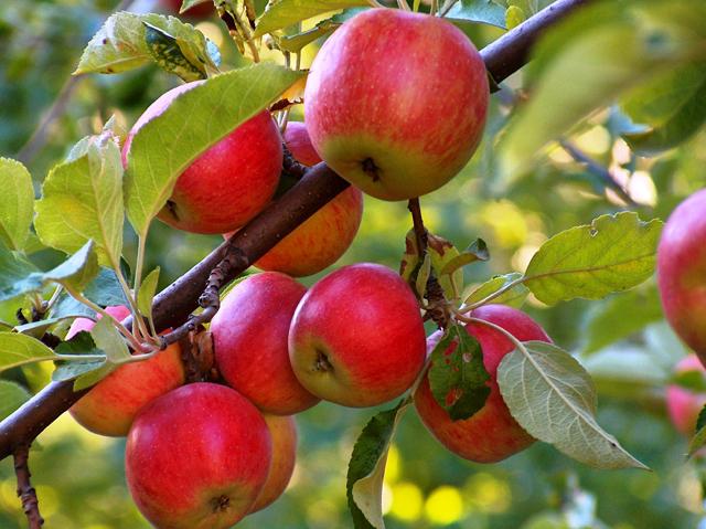 شازند رتبه نخست تولید سیب در استان مرکزی