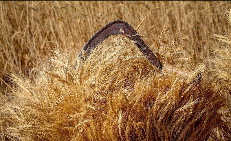 پرداخت کامل بهای گندم کشاورزان