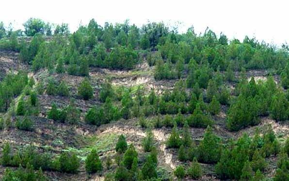جنگل کاری 1300 هکتاری در منطقه چپقلی