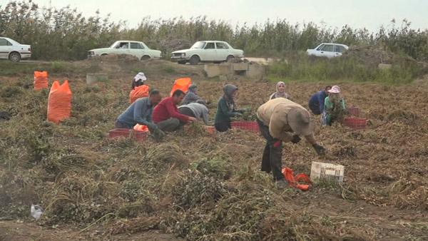 تبدیل دشت مغان به قطب تولید بادام زمینی کشور