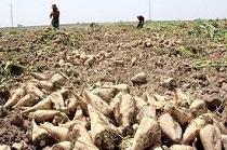 برداشت  9 هزار تن چغندر قند از مزارع  استان مرکزی