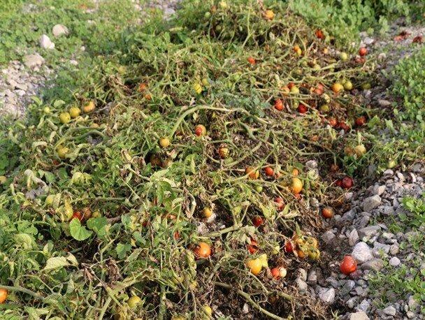 خسارت  بیش از ۶هزار میلیارد ریالی سرما به کشاورزی فارس