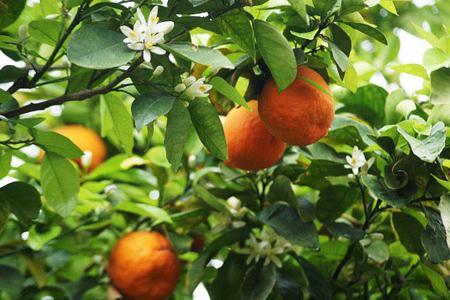 همه چیز درباره خواص و مضرات بهار نارنج