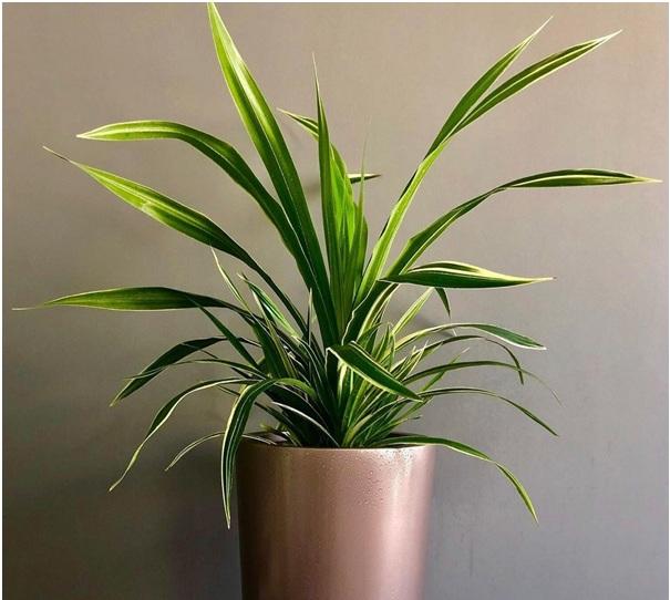 پاندانوس، گیاه مقاوم آپارتمانی