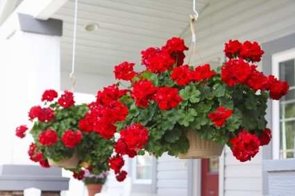 گل شمعدانی چگونه پرورش مییابد؟