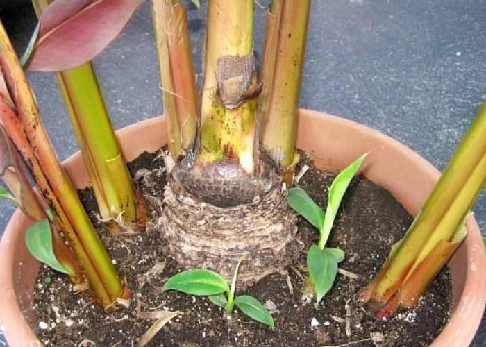 تکثیر درخت موز به کمک پاجوش