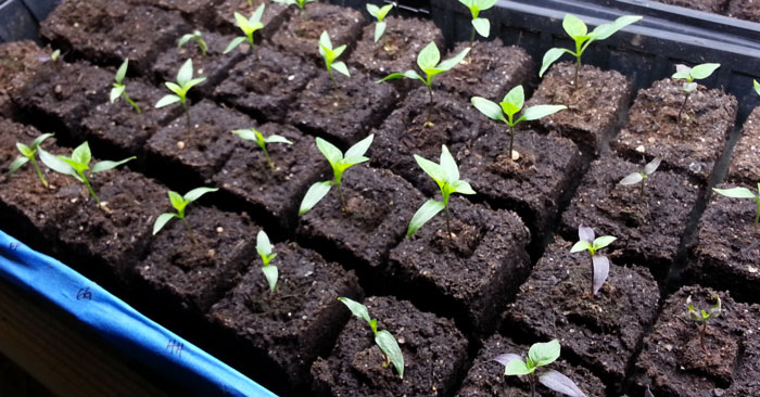 پرورش گیاه در گلدانهای تجزیه پذیر