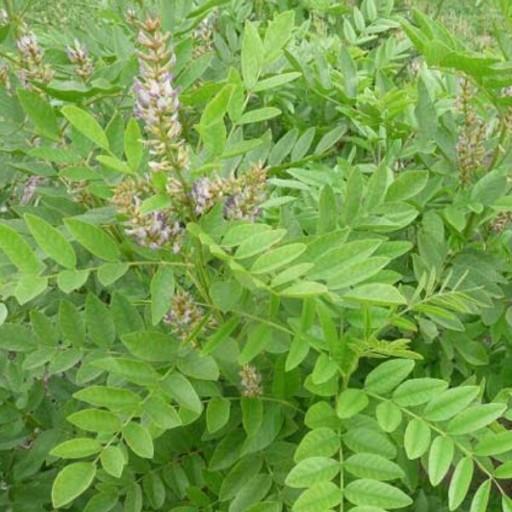 گیاهان دارویی مفید برای سلامت ریه