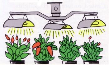 پرورش فلفل زیر نور مصنوعی